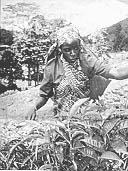 A worker picking tea for the Fairtrade Foundation.