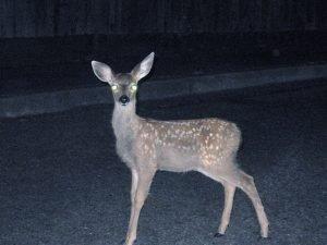 Deer_staring_into_headlights
